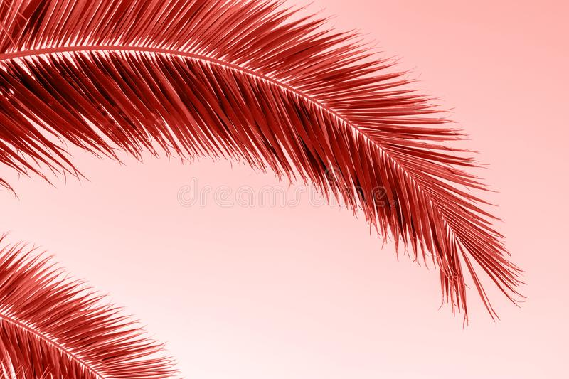 Perfect palm trees against a beautiful sky. Coral color background royalty free stock photos