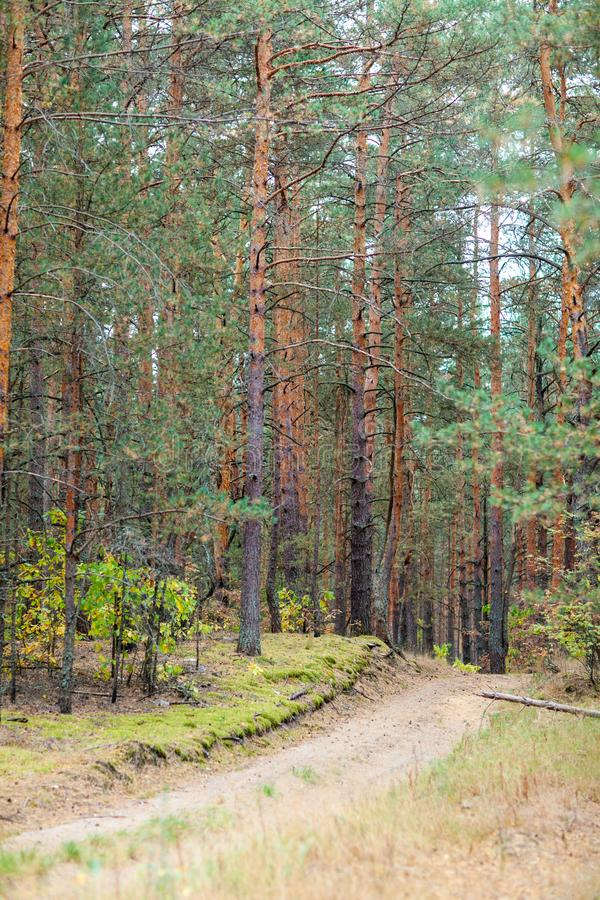 Countryside road in the pine forest at autumn. Perfect path for jogging at the woodland. Dry pine needles and cones on the ground. Fall is coming royalty free stock photography