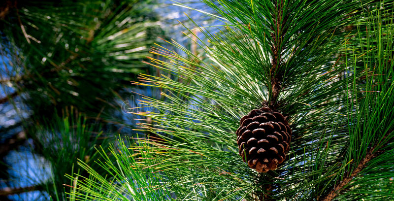 Perfect pine cone royalty free stock images