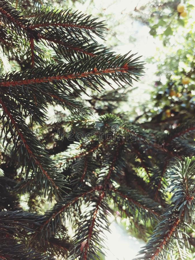 Perfect pine tree royalty free stock photos