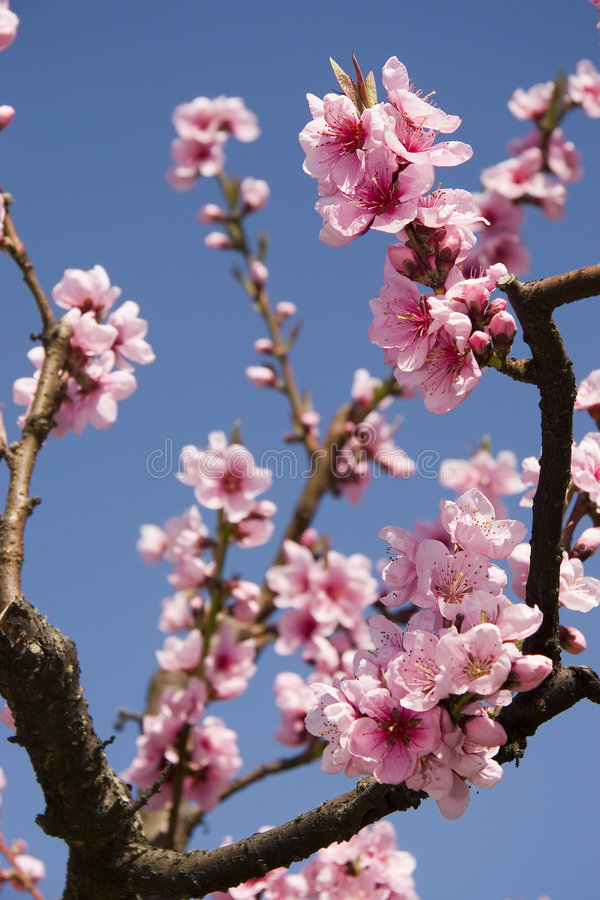 Perfect pink blossoms. Pink fruit blossoms against blue sky royalty free stock photo