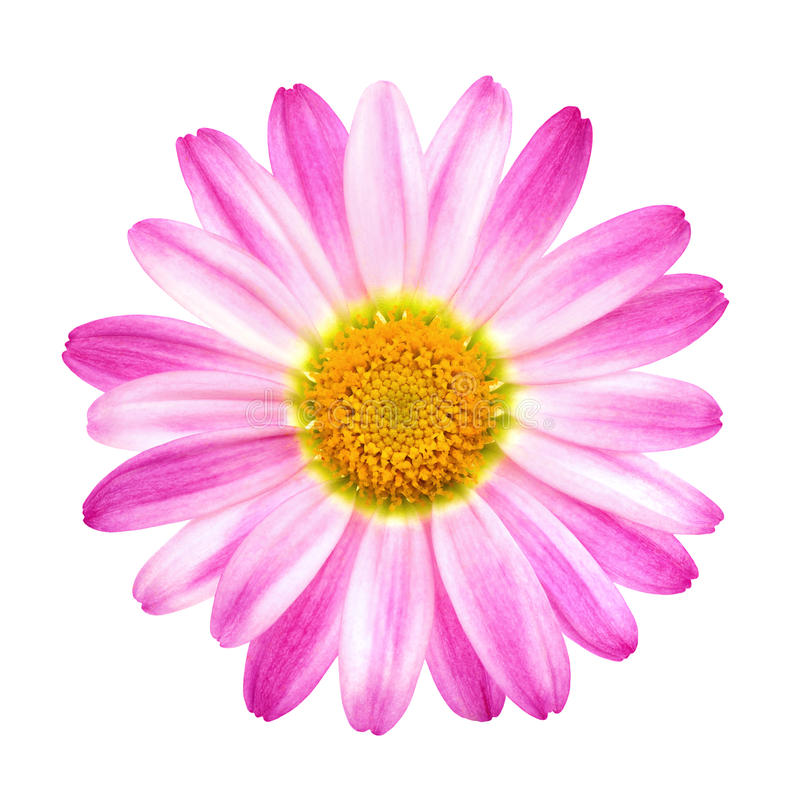 Perfect Pink Daisy On Pure White Stock Photo