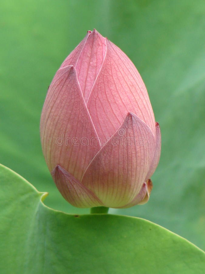 Perfect Pink Lotus Bud royalty free stock photos