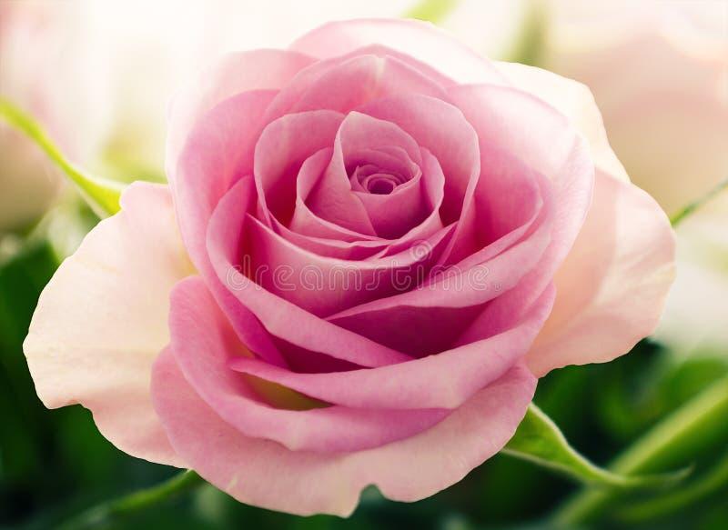 Perfect pink rose royalty free stock image
