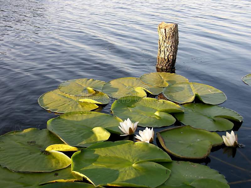 Perfect Place For Fishing - Water Lily stock images