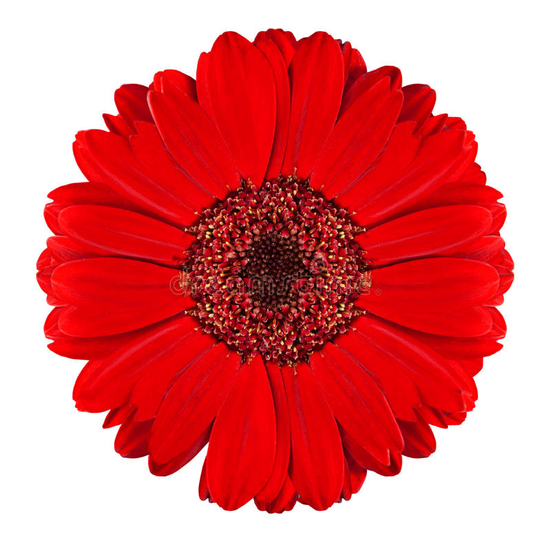 Free Perfect Red Gerbera Flower Isolated On White Stock Photography - 18734952