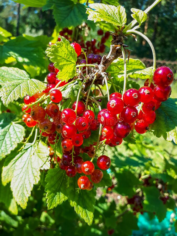 Free Perfect Ripe Redcurrants On The Branch Between Green Leaves In The Sunlight Stock Images - 195361514