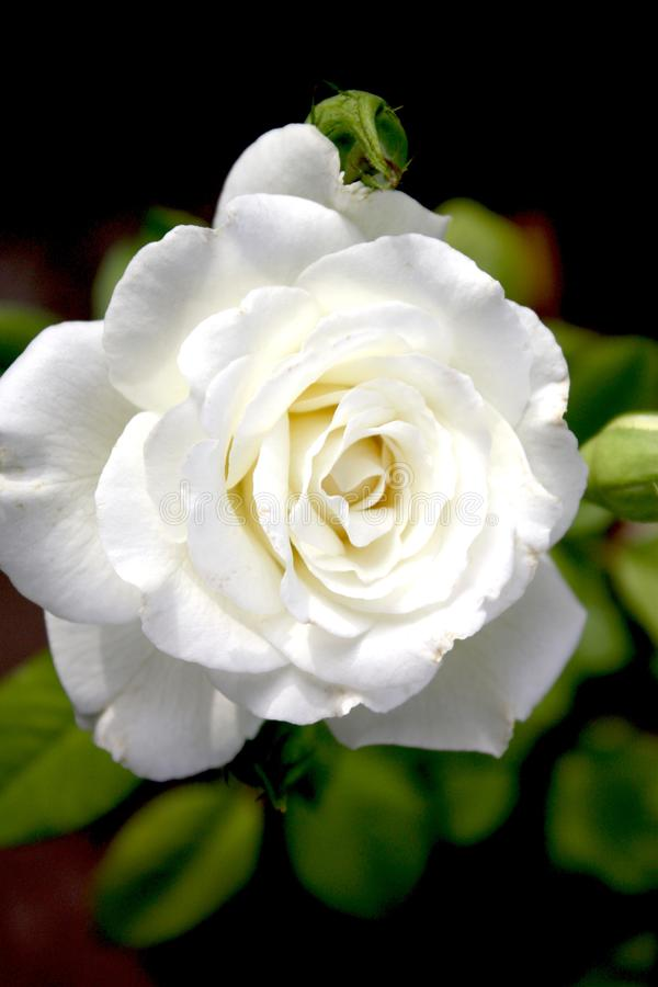 perfect rose white royaltyfria bilder