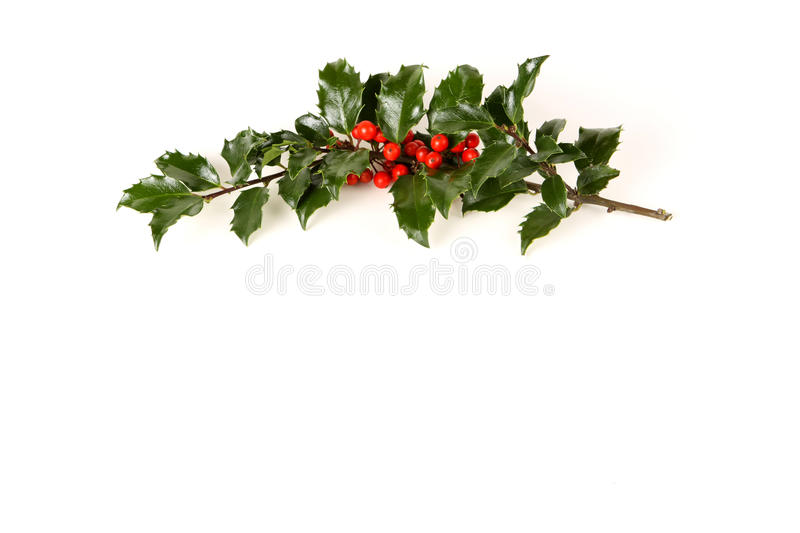 Perfect Sprig of Holly. With bright red berries on white with room for your holiday text stock image