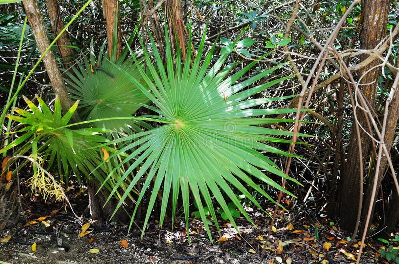 In perfect symmetry, the leaves of this healthy Dwarf Palmetto fan in all directions. - Mexico. One of the most beautiful leafy plants, this Dwarf Palmetto stock images