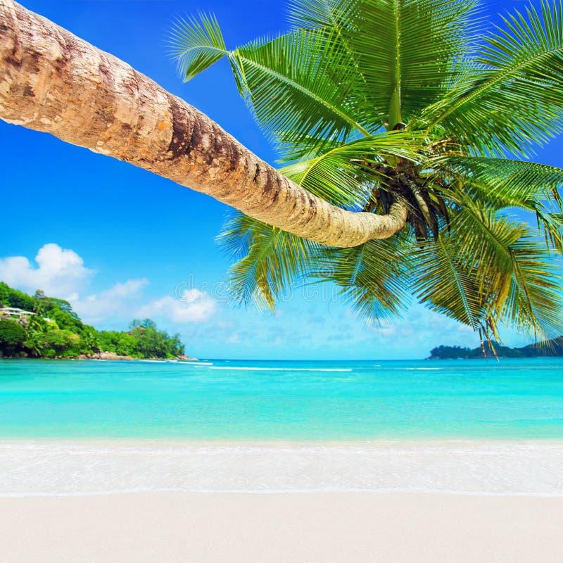 Perfect tropikalna kokosowa palma przy białą piaskowatą ocean plażą fotografia royalty free