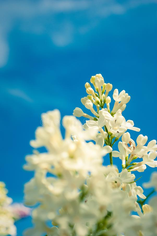 Perfect white lilac flowers. Spring lilac flowers, abstract floral background. Perfect white lilac flowers. Spring lilac flowers, abstract background royalty free stock photo