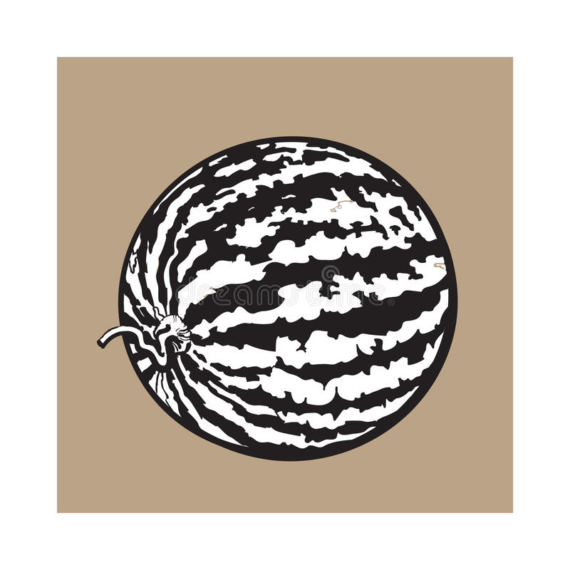 Perfect whole striped watermelon with curled up tail, sketch illustration vector illustration
