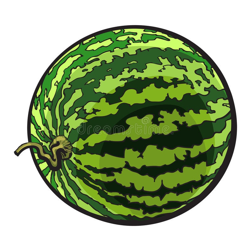 Perfect whole striped watermelon with curled up tail, sketch illustration stock illustration