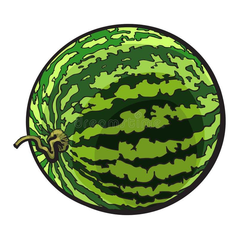 Perfecte gehele gestreepte watermeloen met gekrulde omhoog staart, schetsillustratie stock illustratie