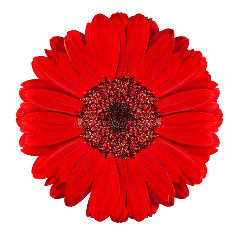 Perfecte Rode Bloem Gerbera die op Wit wordt geïsoleerdt stock fotografie