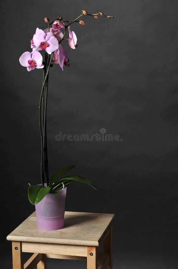 Perfecte roze orchideeën royalty-vrije stock afbeelding