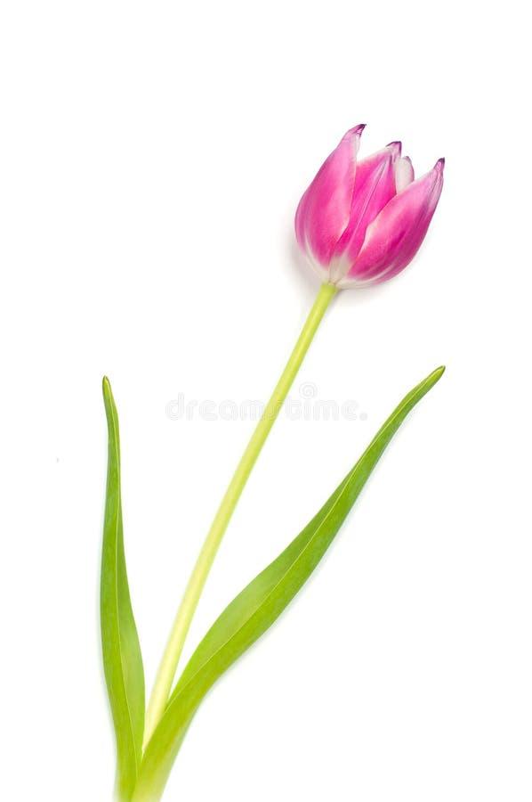 Perfecte roze tulp stock afbeelding
