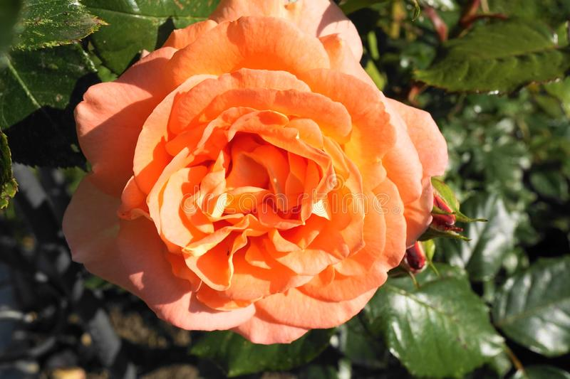 Perfectly blossomed orange rose into a garden stock photography