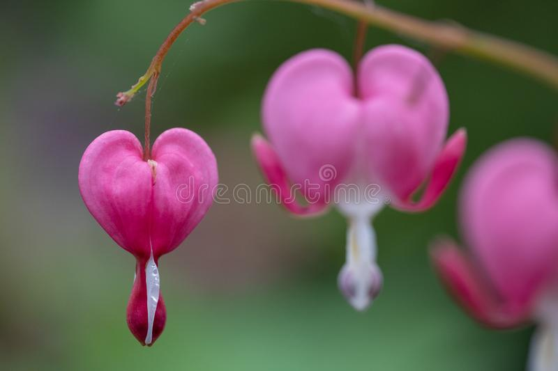 Perfectly formed pink and white bleeding heart flowers, photographed at RHS Wisley gardens, UK. stock photos