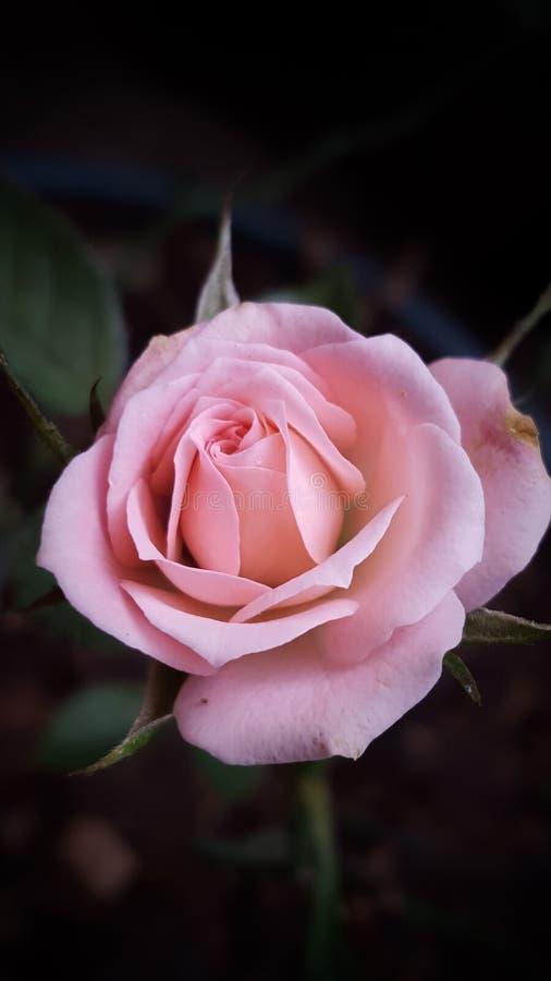 Perfeição do macro de Rosa fotos de stock