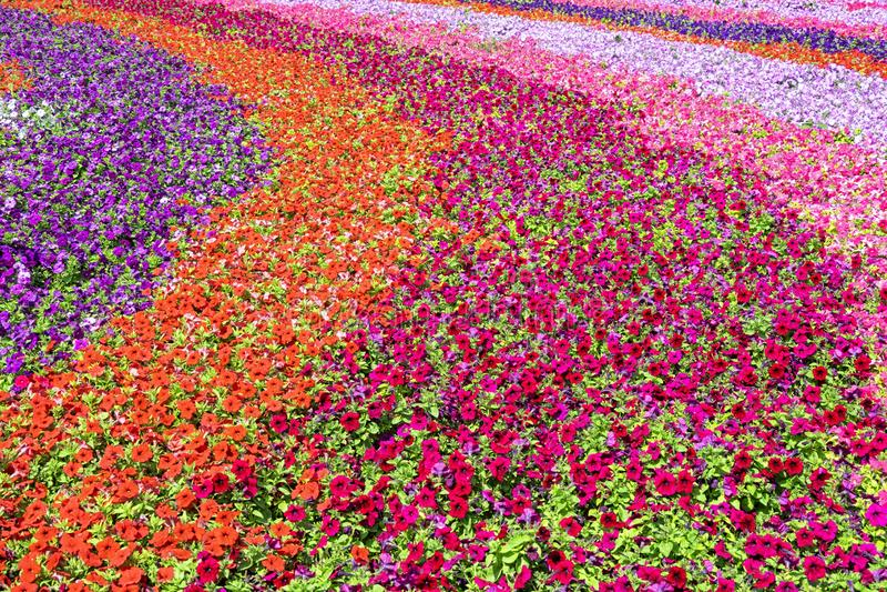 Perfekt fält för blommor arkivbilder