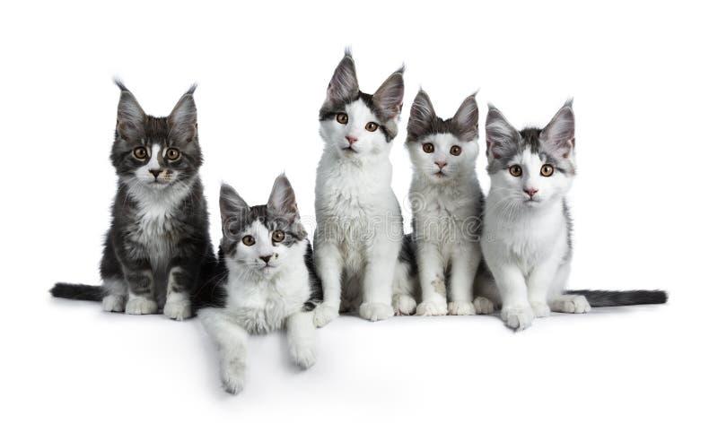 Perfekt rad av Maine Coon för strimmig katt för fem blått som/svartden höga vita katten isoleras på vit bakgrund arkivfoto