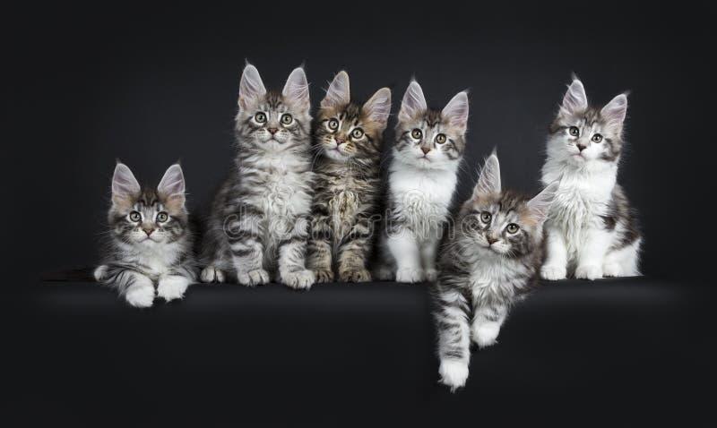 Perfekt rad av sex ursnygga Maine Coon kattkattungar som isoleras på svart bakgrund royaltyfri bild