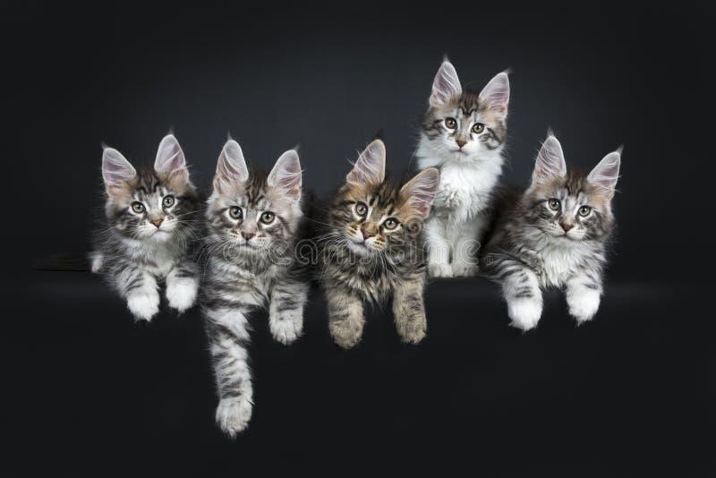 Perfekt rad av sex ursnygga Maine Coon kattkattungar som isoleras på svart bakgrund royaltyfria bilder