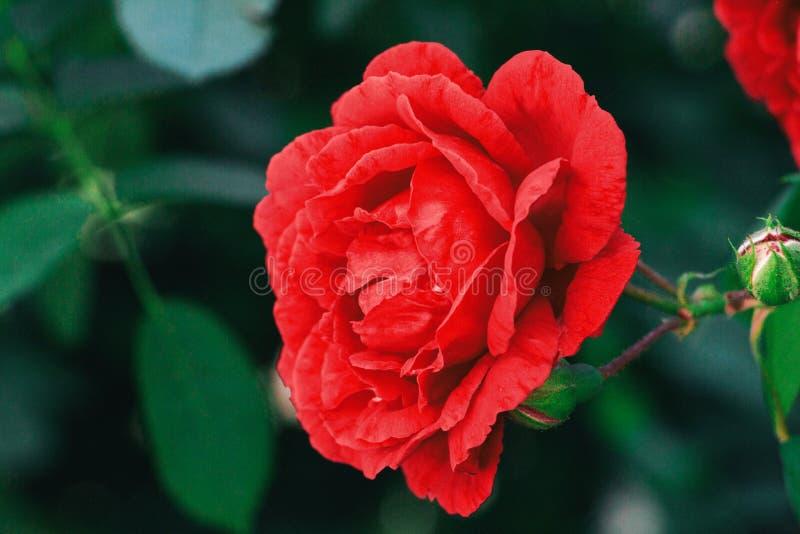 Perfekta röda rosa kronblad royaltyfri foto