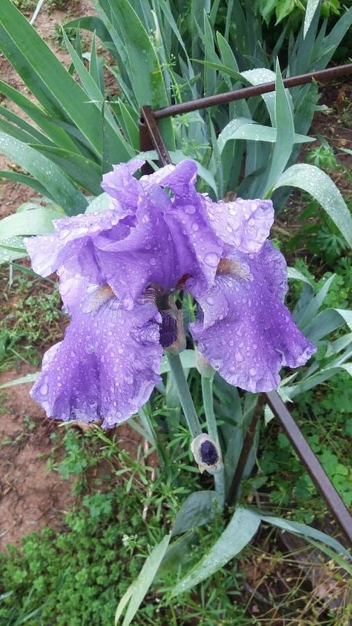 Perfekte Iris lizenzfreie stockfotografie