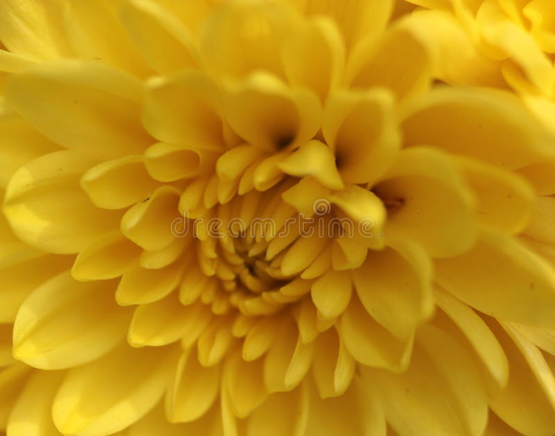 Perfekte Platzierung der auffallenden gelben Blume jedes Blumenblattes schloss an das folgende an lizenzfreie stockfotografie