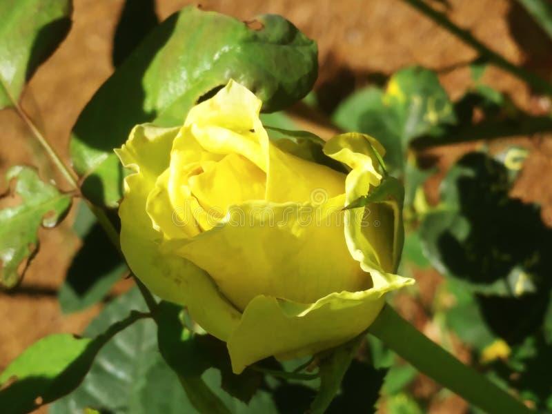 Perfekter gelber Rosebud stockfotografie