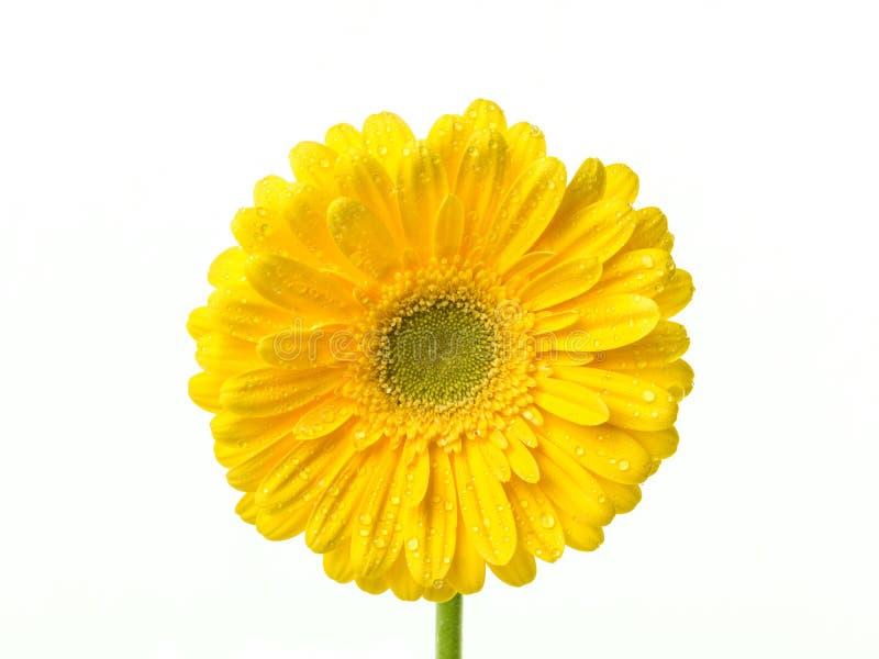 Perfektes gelbes Gerberaköpfchen mit Wassertropfen auf den Blumenblättern lokalisiert auf weißem Hintergrund stockbilder