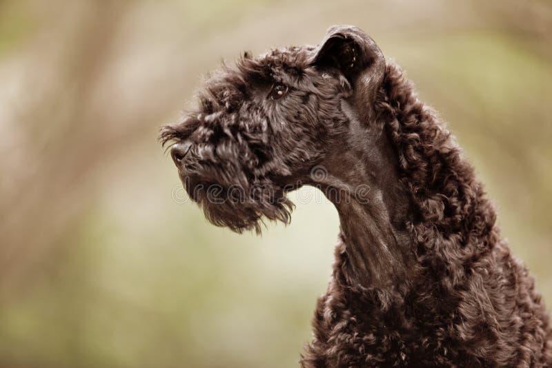 Perfil azul do filhote de cachorro do terrier do Kerry imagens de stock royalty free