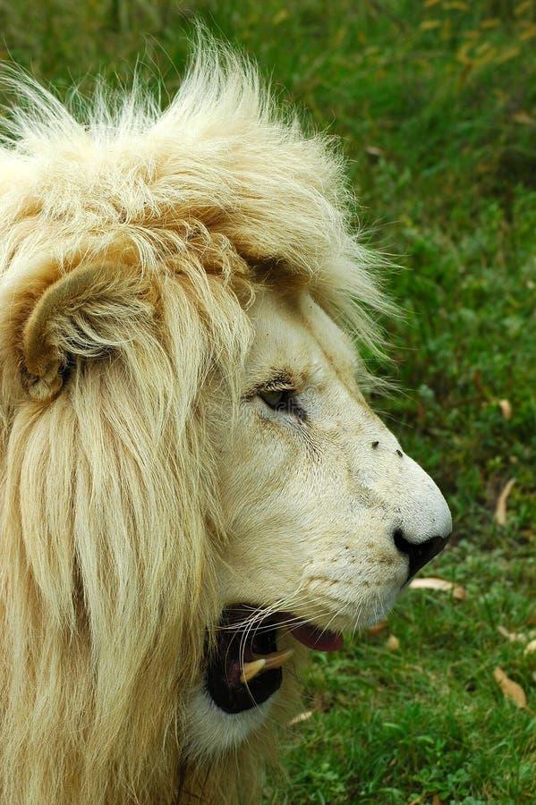 Perfil blanco de la pista del león foto de archivo libre de regalías