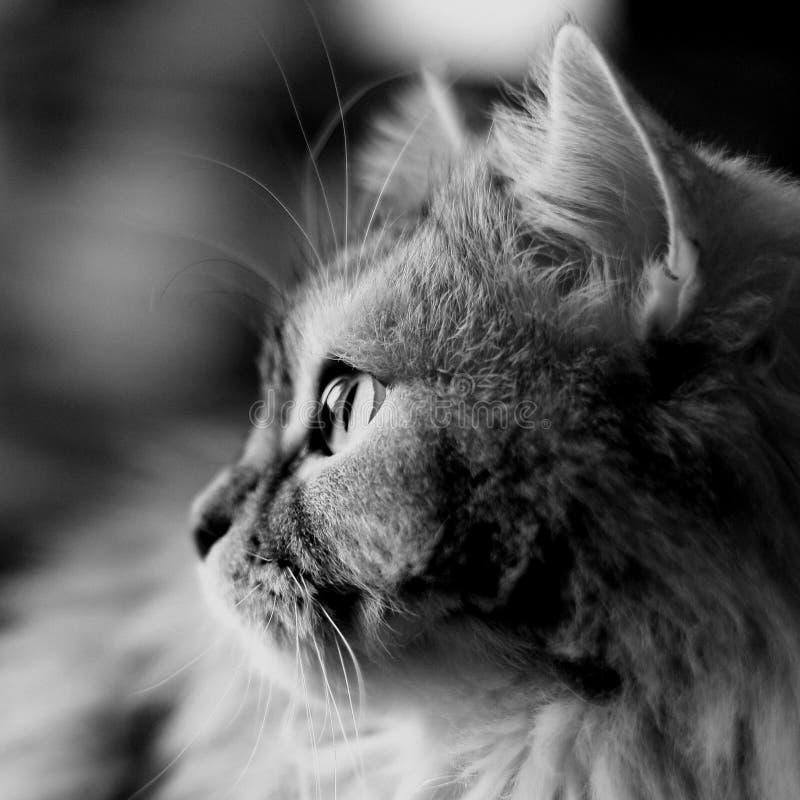 Perfil blanco negro del gato foto de archivo