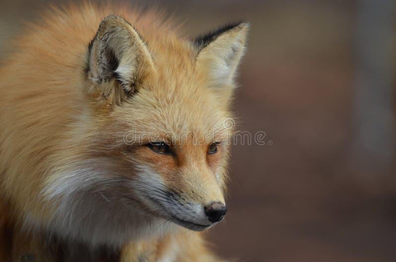 Perfil bonito de um Fox vermelho fotografia de stock