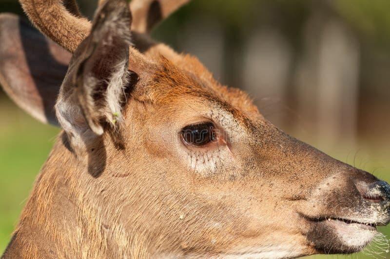 perfil Branco-atado do retrato do close up dos cervos foto de stock