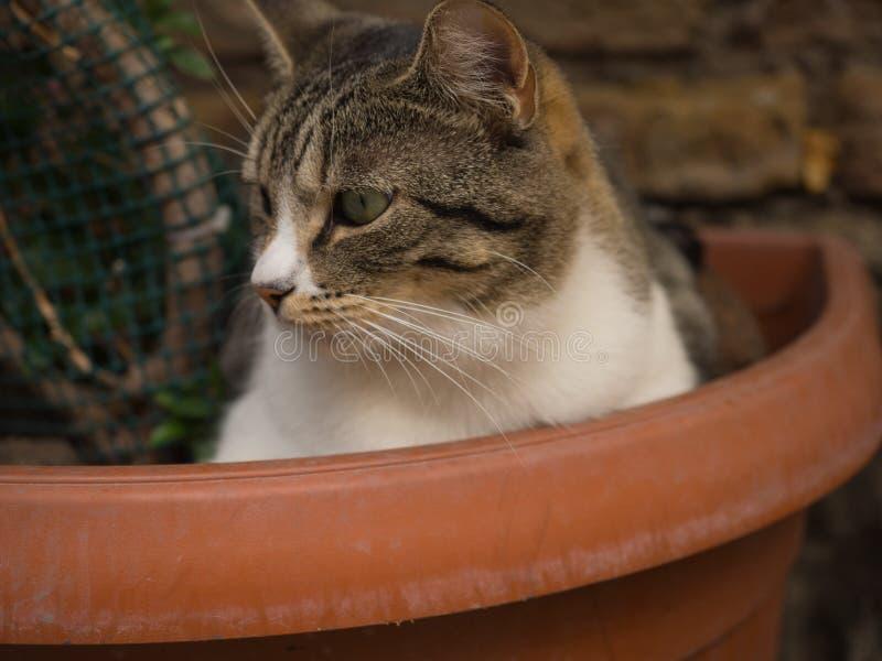 Perfil branco de Tabby Cat em Roma Itália fotografia de stock