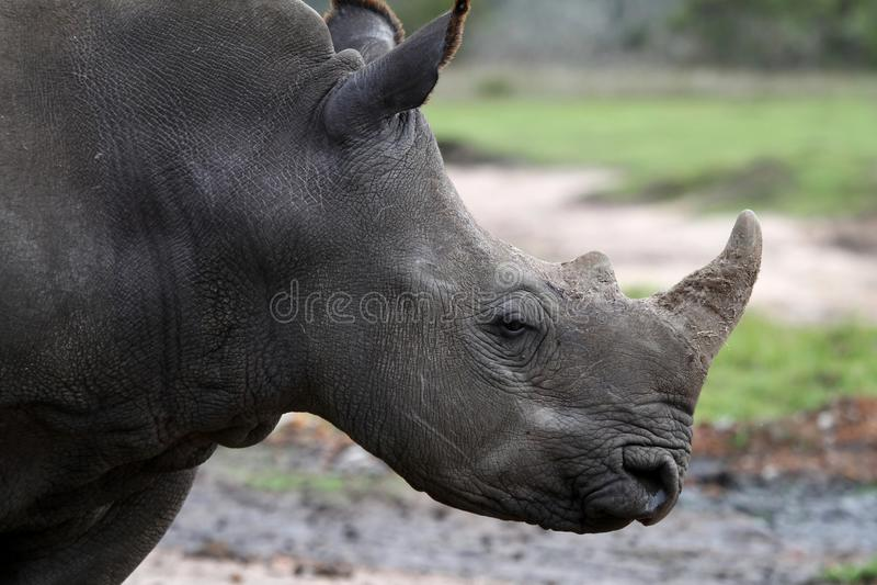 Perfil branco do rinoceronte foto de stock royalty free