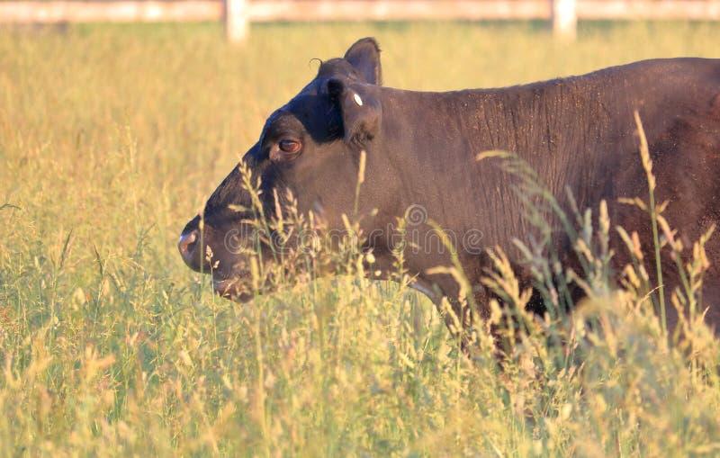 Perfil cercano de la vaca de la encuesta roja fotos de archivo libres de regalías