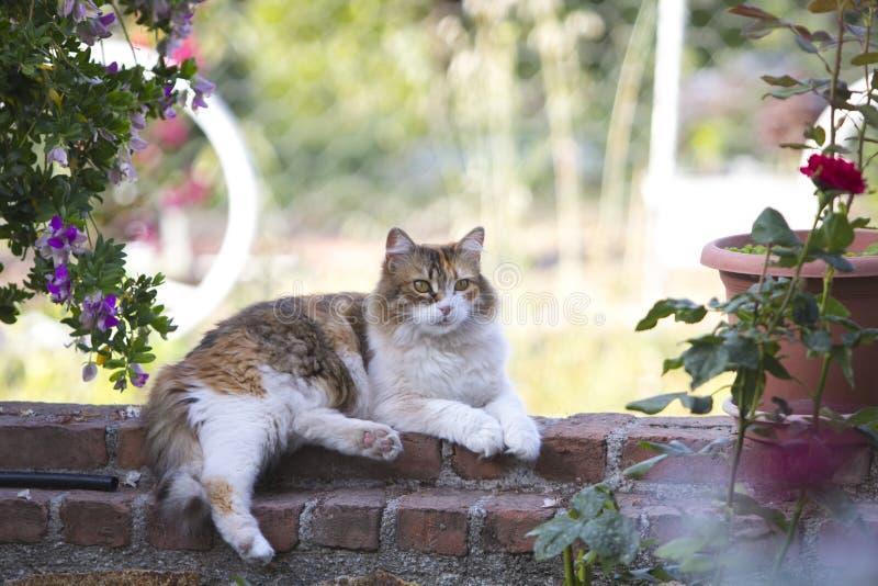 Perfil completo do corpo de um encontro tricolor peludo adorável do gato de chita desabotoado em uma parede de tijolo vermelho co imagens de stock