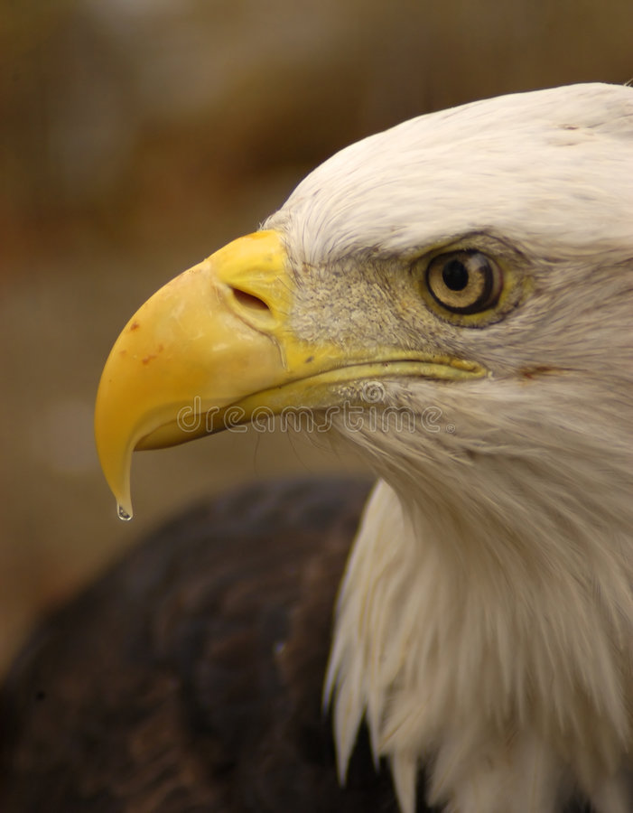 Perfil Da águia Imagem de Stock Royalty Free