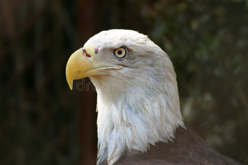 Perfil da águia calva fotos de stock