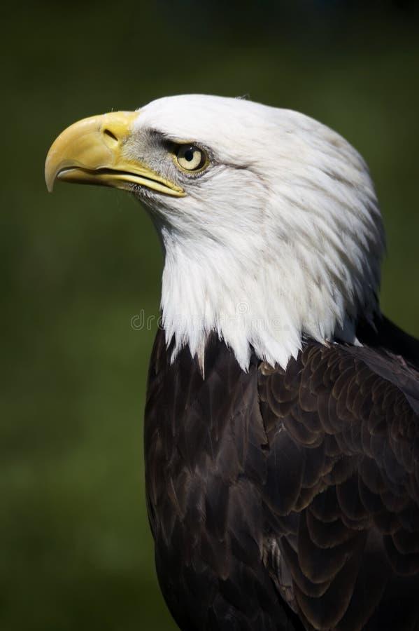Perfil da águia calva (leucocephalus do Haliaeetus) foto de stock