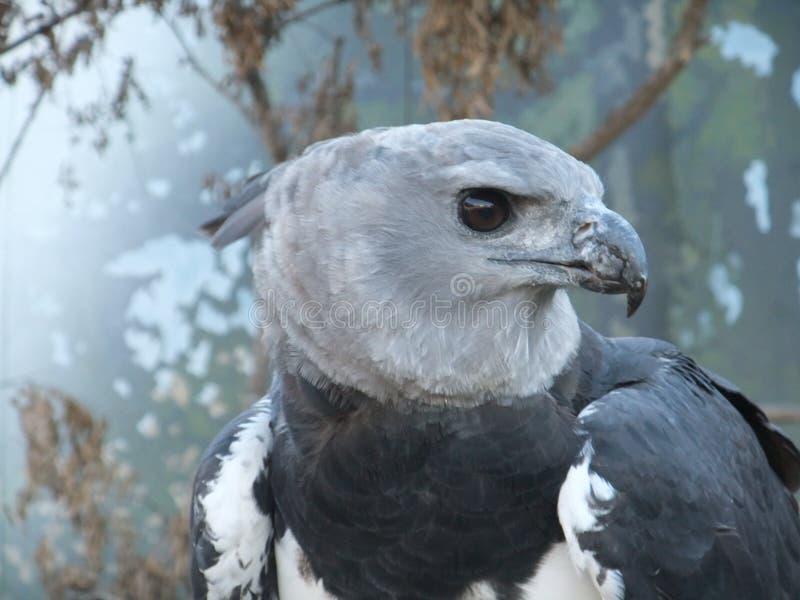 Perfil da águia de harpia fotos de stock