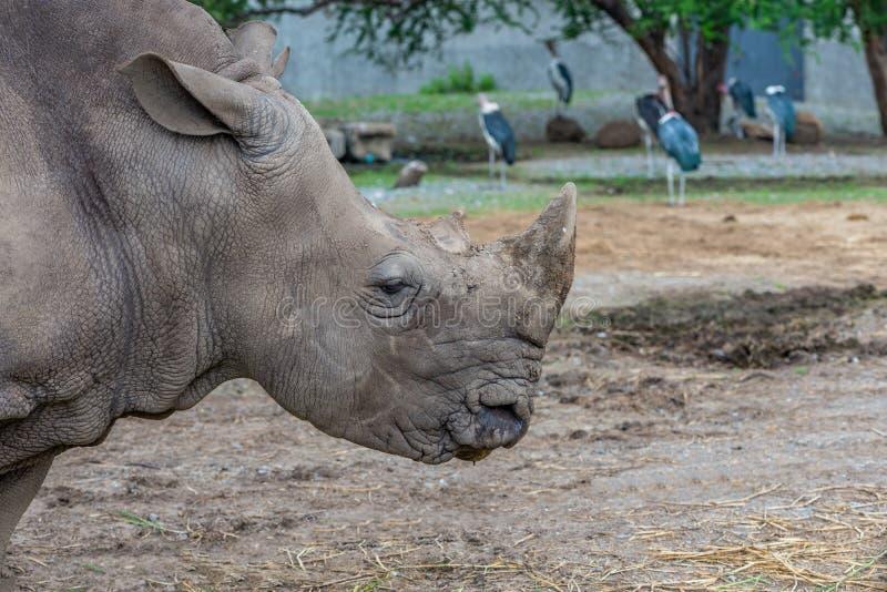 Perfil da cabeça do rinoceronte imagem de stock royalty free