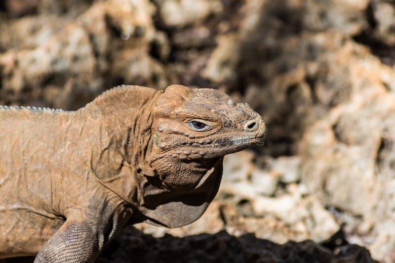 Perfil da iguana com fundo borrado foto de stock
