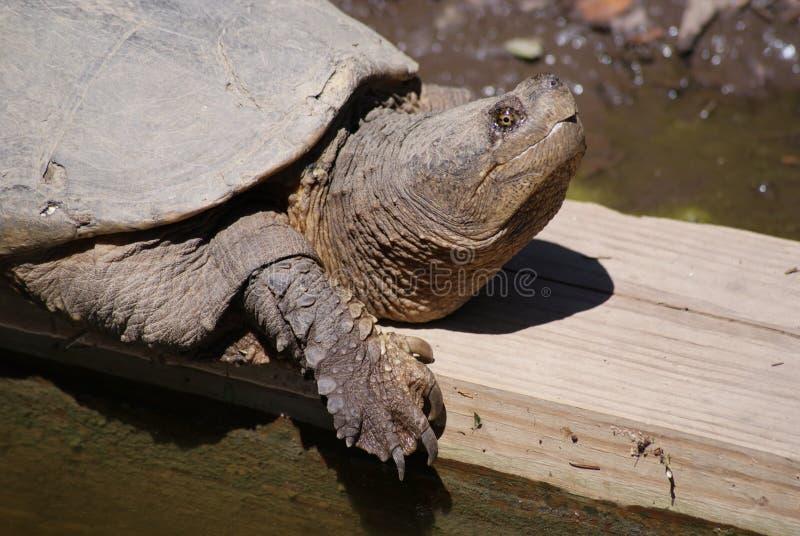 Perfil da tartaruga de agarramento de A fotografia de stock